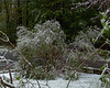 Another lilac bush bent over from the weight of the wet snow