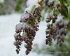 Snow covering lilac blossoms that haven't opened yet