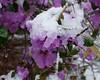 Snow on the azalea bush