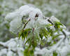 Snow on some leaves of a burning bush