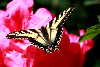 The first day of summer and a visit by a Western Tiger Swallowtail