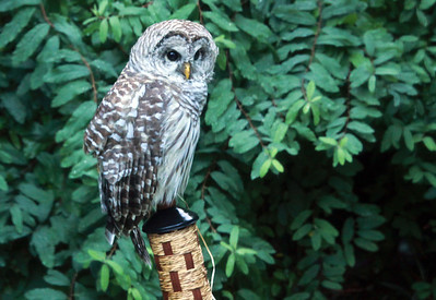 A Barred Owl decides that a Tiki torch makes a good place to perch.