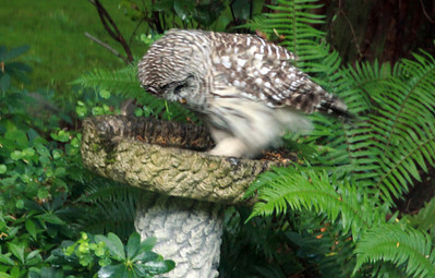 A Barred Owl trys to take a bath