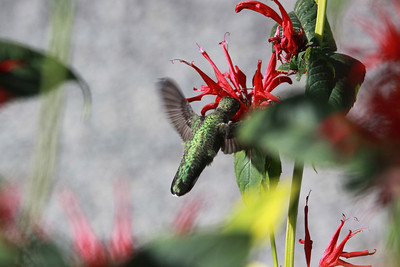 Anna's Hummingbird feeding at Bellevue Botanical Gardens