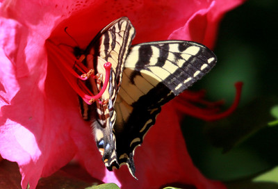 Western Tiger Swallowtail feeding