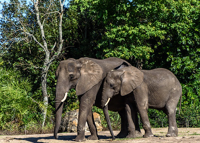 Elephants At Animal Kingdom