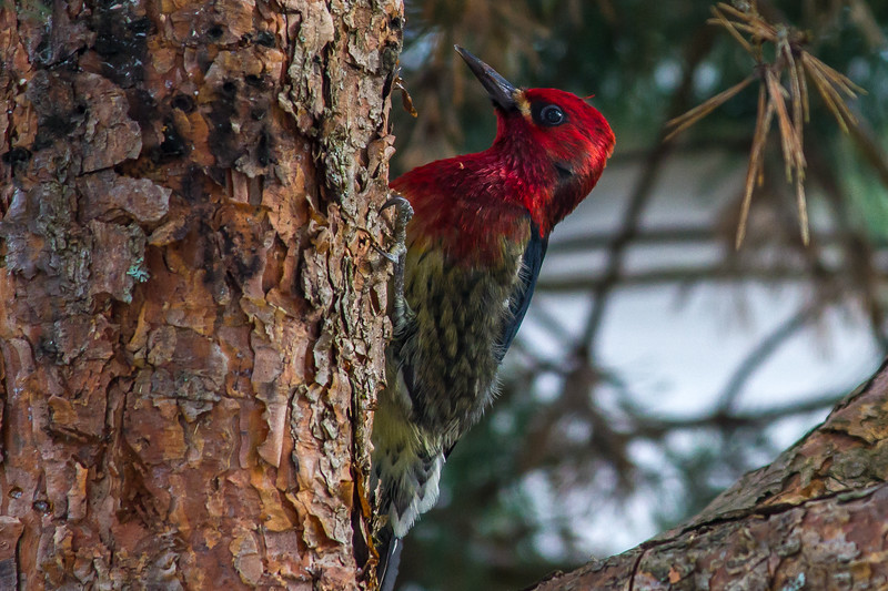 Colorful Woodpecker