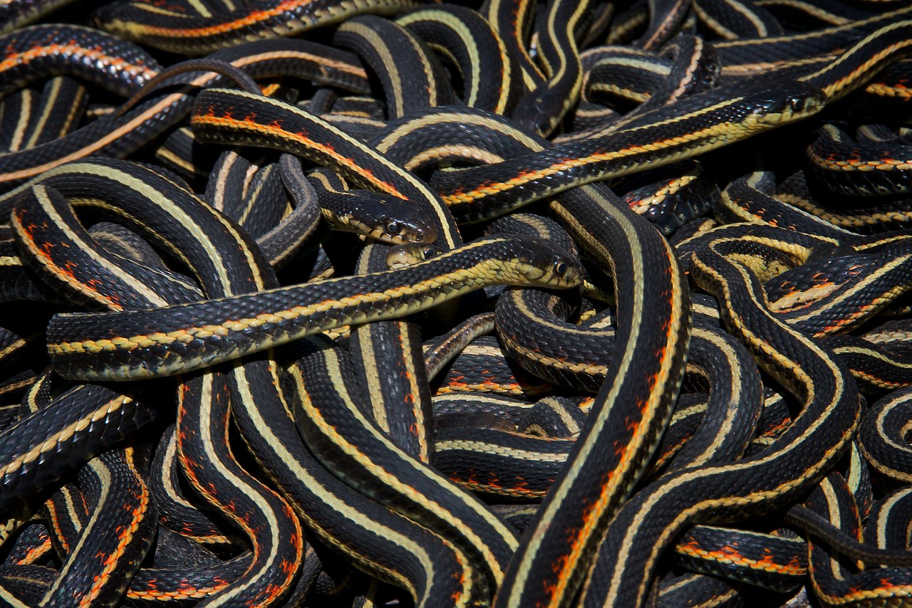 Narcisse Snake Dens - Red Sided Garter Snakes