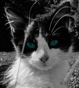 blue eyed kitten-2
