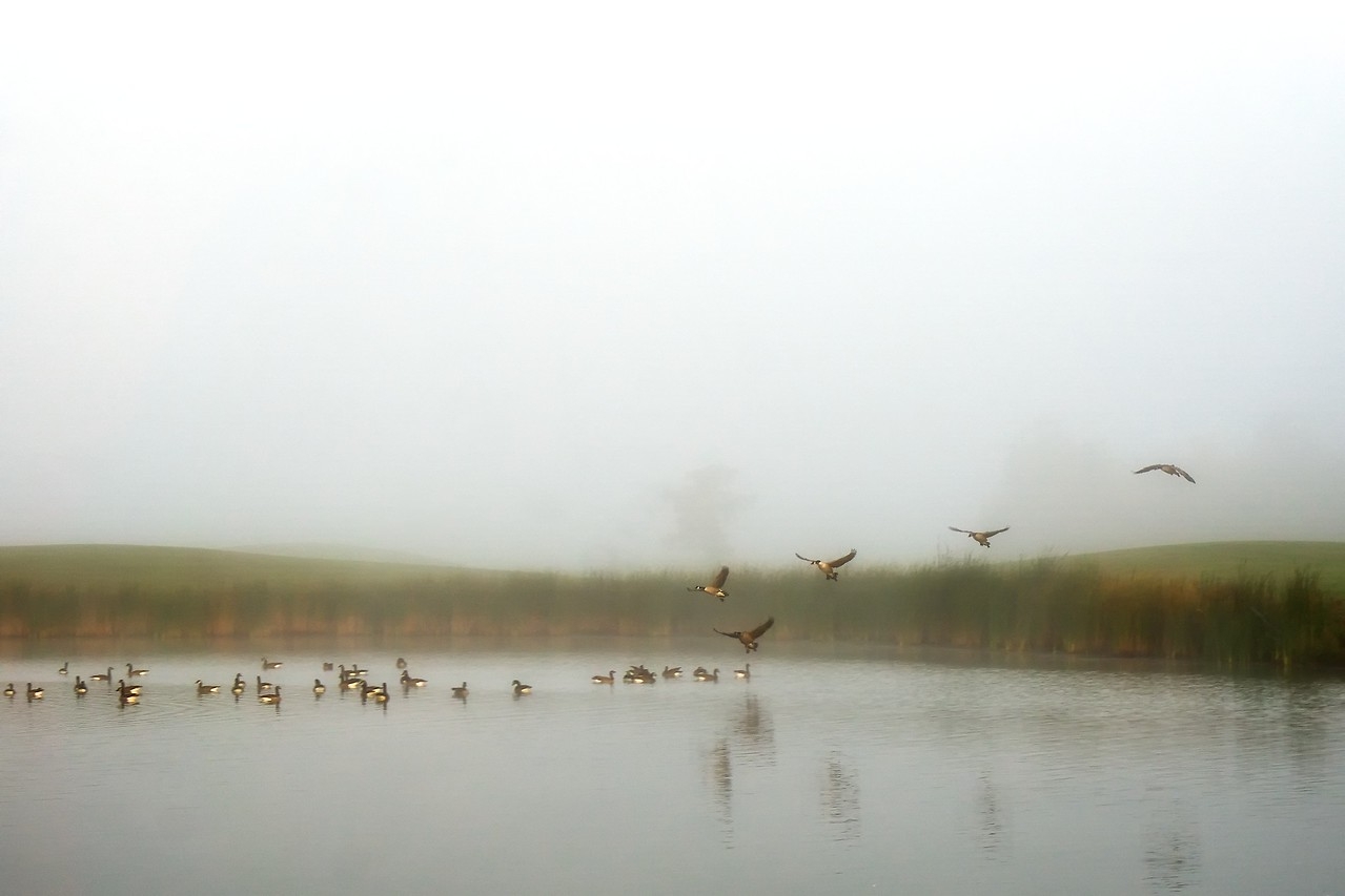 Geese landing on the pond