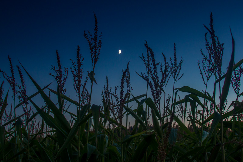 Night in the Cornfield