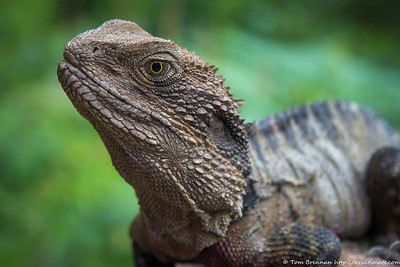 Eastern Water Dragon (Intellagama lesueurii)