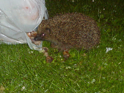 Hungry Hedgehog  I've finally worked out who gets to our bin bags before the birds do.