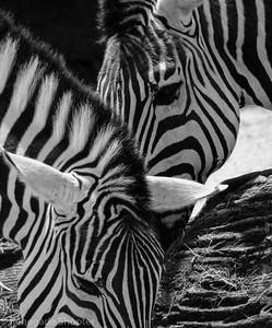 b-w zebras-273