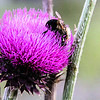thistle with bee-