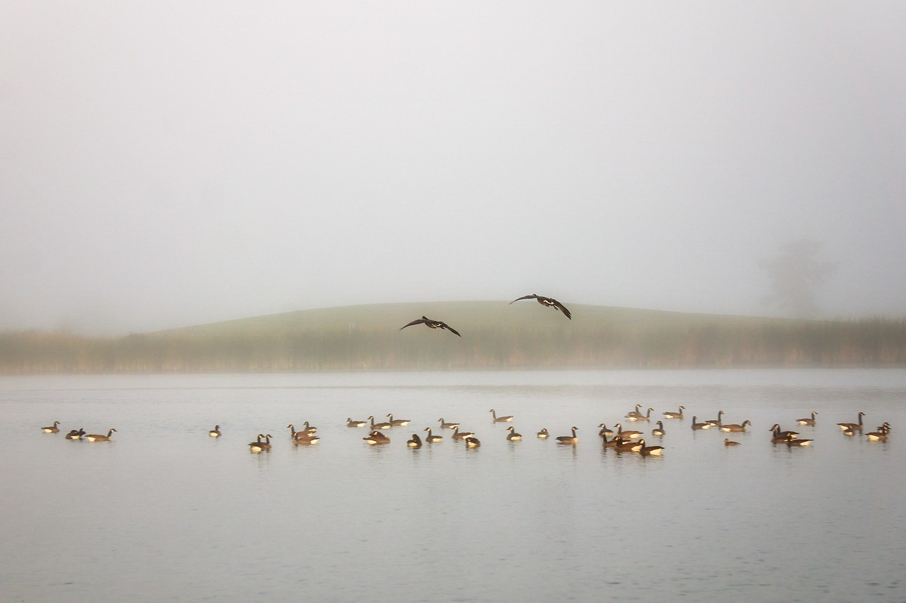 Geese on the pond