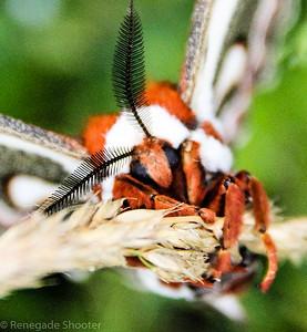 red moth-6
