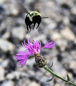 bee flying over purple flower-2
