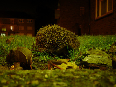 One of Our Neighbours  A cute little hedgehog that was wondering on the grass outside the block of flats across the road.