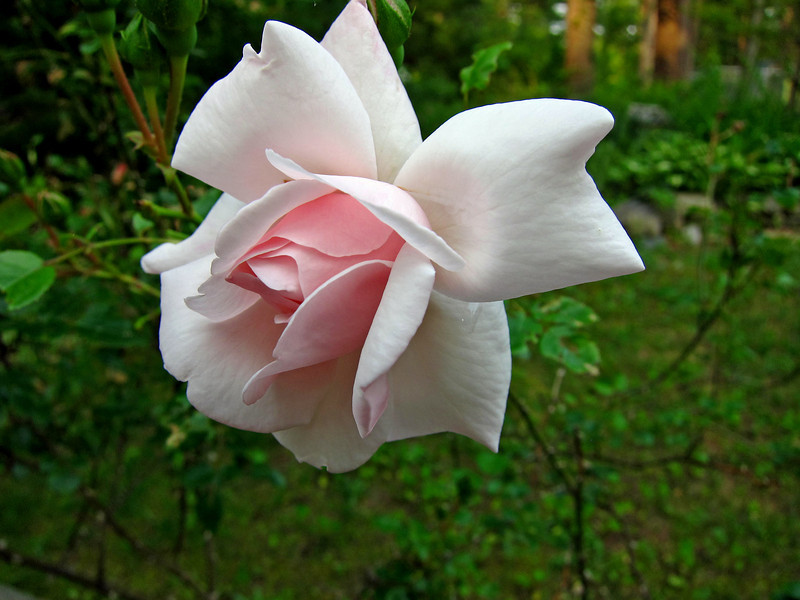 A soft, pink rose from my garden