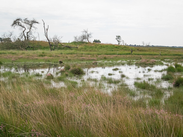 La lande de Kalmthout en éré : étangs et bruyère des marais
