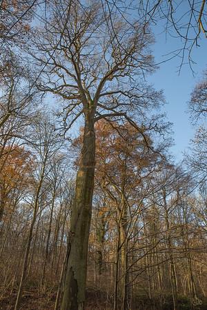 Chênes (Quercus)