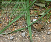 Voici un tircis, un papillon commun des allées forestières.