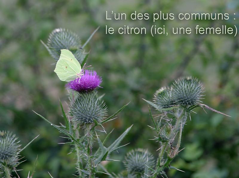 L'un des papillons les plus communs :<br /> le citron (ici, une femelle)
