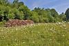 La clairière aux marguerites<br /> <br /> Une petite clairière dans la forêt, entre Montgauthier et Fenffe