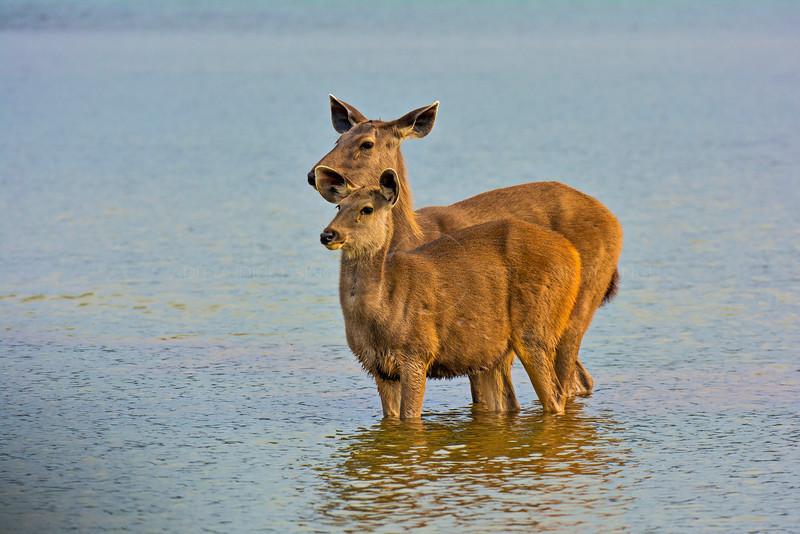 Samber deer in water