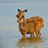 Samber deer in water
