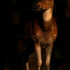 Portrait of a Spotted deer (axis axis) in Ranthambhore national park, India