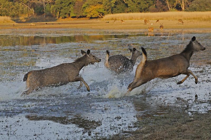 Sambar Deer (Cervus unicolor niger) running in a lake in Ranthambore national park