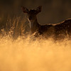 Portraits of  Spotted deers (axis axis) standing in dry grass in Ranthambhore national park, India