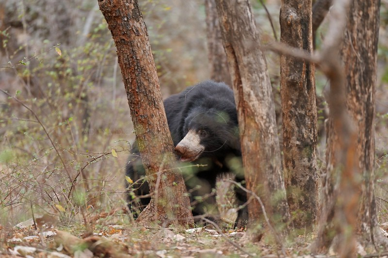Sloth Bear  (Melursus ursinus) behind a tree in the dry forests of  Ranthambhore national park