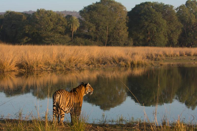 Tiger's domain