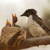 White-Browed Fantail Flycatcher bird with two chicks on a nest on top of a tree in Ranthambhore national park, India