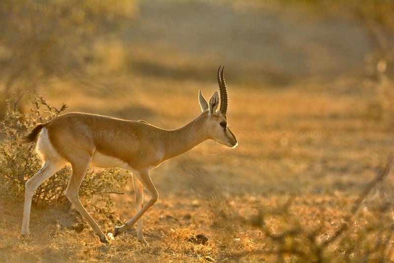 Indian gazelle in the Thar desert