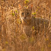 Jungle cat (Felis chaus) looking out from dry bushes in Ranthambhore national park, India