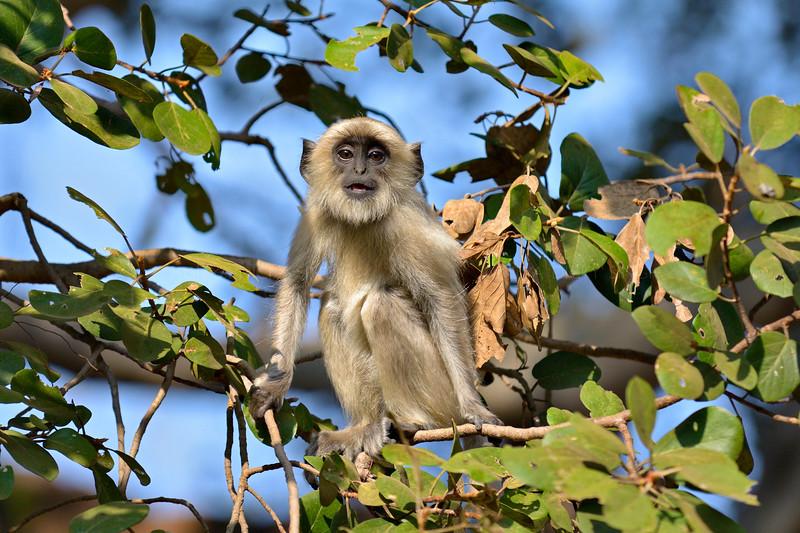Langur monkey