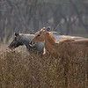 Indian antelopes or Nilgai in Ranthambhore national park