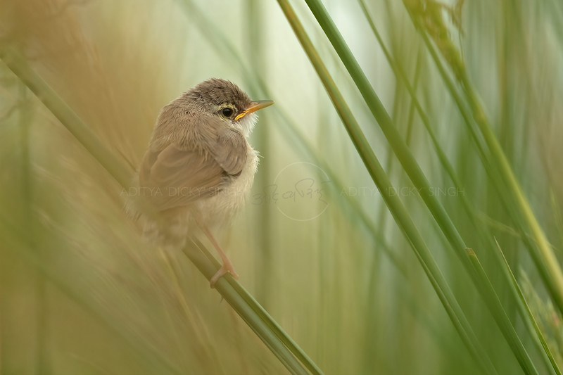 Ashy Prinia fledgling in a patch of grass in Ranthambhore