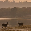 A herd of Sambar deer feeding in a lake.