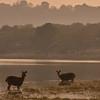 A herd of Sambar deer feeding in a lake.