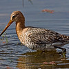 Black-tailed Godwit (Limosa limosa) feeding in a lake in Ranthambhore
