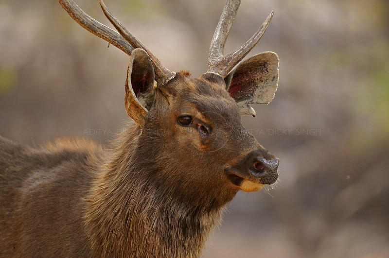 Head of a male Sambar Deer (Cervus unicolor niger)  in Ranthambore national park