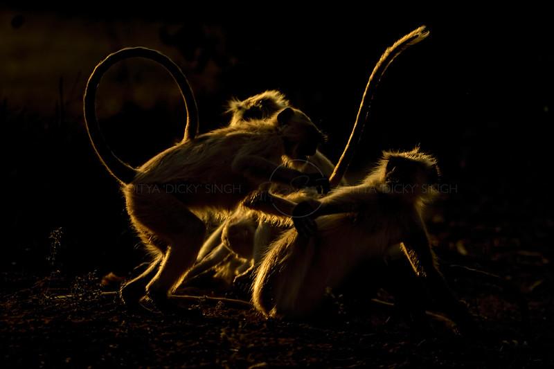 Playful backlit langurs