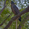 Crested Serpent Eagle (Spilornis cheela) perched with a dead snake in Ranthambore