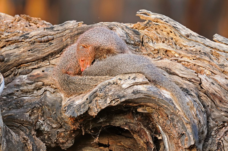 Ruddy Mongoose or Black-tailed mongoose family (Herpestes smithii) on a tree trunk in Ranthambore national park