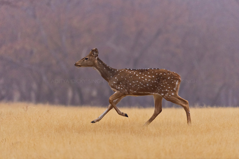 Spotted deer on the run